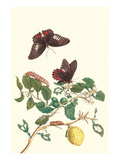Swallowtail on a Mexican Lime Tree Prints by Maria Sibylla Merian