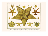 Edged Starfishes, Cushion Star, Sun Star, Red Comb Star, Sand Star Poster by Albertus Seba