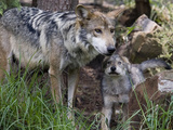 Mexico Wolves Fotodruck von Eduardo Verdugo