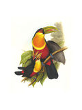 Red Breaster Toucan and Green Billed Posters by John Gould