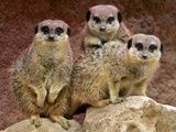 APTOPIX Britain Easter Meerkats Photographic Print by Matt Dunham