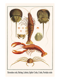 Horseshoe Crab, Shrimp, Lobster, Spider Crabs, Crabs, Porelain Crabs Posters by Albertus Seba