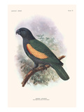 Amazona Violaeus Prints by Lionel Walter Rothschild