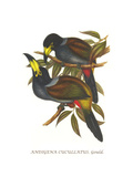 Hooded Mountain Toucan Prints by John Gould