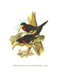 Yellow Billed Aracari Prints by John Gould