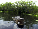 Alligator Feeders Photographic Print by J. Pat Carter