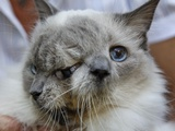 APTOPIX Two Faced Cat Photographic Print by Steven Senne
