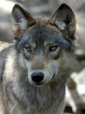 Gray Wolf Endangered Photographic Print by Dawn Villella