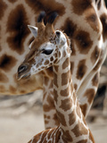 DEU Giraffenbaby Photographic Print by Kai-uwe Knoth