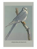 Afircan Swallow Tailed Kite Affiches par Louis Agassiz Fuertes