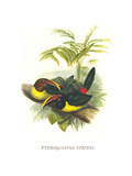Curl Crested Aracari Posters by John Gould