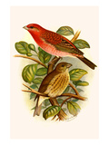Scarlet Rose Finch Poster by F.w. Frohawk