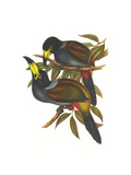 Hooded Mountain Toucan Print by John Gould