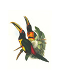 Pale Mandibiled Aracari Prints by John Gould