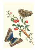 Barbados Cherry Tree with a Moth Premium Giclee Print by Maria Sibylla Merian