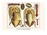 Ten Arm or Tentacle Cephlopods Posters af Albertus Seba
