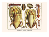 Ten Arm or Tentacle Cephlopods Posters by Albertus Seba