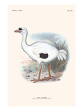 Didus Solitarius Dodo Prints by Lionel Walter Rothschild