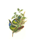 Blue Throated Toucanet Art by John Gould