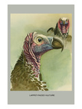 Lappet Faced Vulture Print by Louis Agassiz Fuertes