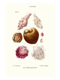 Clam Shell Print by John Mawe