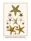 Serpent Star, Starfish, Cushion Star, Prints by Albertus Seba