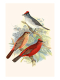 Pileated Finch and Red Crested Finch Posters by F.w. Frohawk
