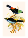 Superb Tanager, Paradise Tanager Prints by F.w. Frohawk