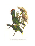 White Throated Toucanet Prints by John Gould
