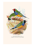 Gouldian Finch, Black Headed and Red Headed Premium Giclee Print by F.w. Frohawk