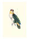 Bay Headed Parrot - Pionites Leucogasper Print by Edward Lear