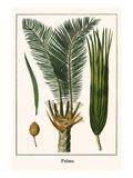 Palms Print by Albertus Seba