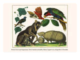 Brown Four-Eyed Oppossum, Three Banded Armadillo, Black Capped Lory, King Bird of Paradise Prints by Albertus Seba