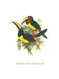 Lettered Aracari Posters by John Gould