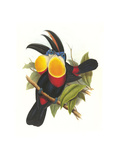 Channel-Billed Toucan Posters by John Gould