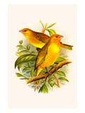 Safron Finch or Brazilian Bunting or Brazilian Canary Posters by F.w. Frohawk