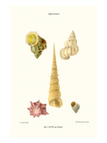 Turban Shells Posters by John Mawe