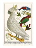 Lesser Sulphur-Crested Cockatoo, Hawk Headed Parrot, Tri-Colored Blackbird, Heleted Manakin, etc. Print by Albertus Seba