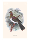 Hemiphaga Spadicea Prints by Lionel Walter Rothschild