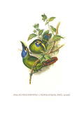 Blue Throated Toucanet Prints by John Gould