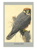Abyssinian Lanner Print by Louis Agassiz Fuertes