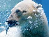 APTOPIX Singapore Polar Bear Photographic Print by Wong Maye-e