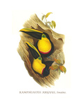 Black-Mandibled or Yellow Throated Toucan Prints by John Gould