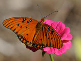 Passion Butterfly Photographic Print by Pat Sullivan