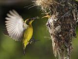 APTOPIX Malaysia Sunbird Photographic Print by Vincent Thian