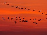 APTOPIX Hungary Migrating Birds Photographic Print by Tibor Olah