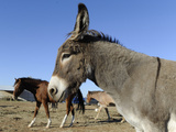 Texas vs Burros Photographic Print by Pat Sullivan