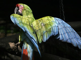 APTOPIX Costa Rica Endangered Macaws Photographic Print by Kent Gilbert