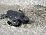APTOPIX El Salvador Turtles Released Photographic Print by Luis Romero