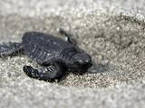 APTOPIX El Salvador Turtles Released Photographic Print by Luis Romero